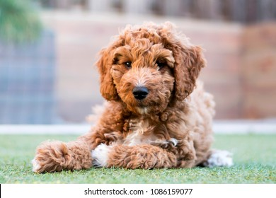 Irish doodle pup