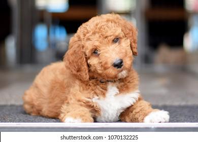 Irish doodle pup 8 weeks old