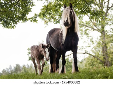 Irish (gypsy) cob horse mare  with extra long flaxen blond mane outside in the summer against green trees with a small foal nearby.