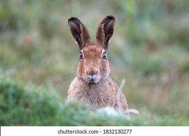 An Irish mountain hare, west of Ireland