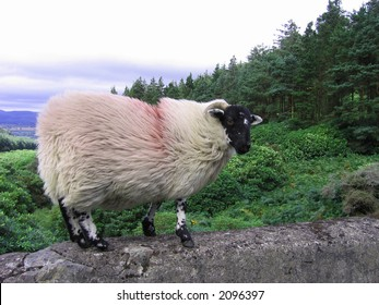 An Irish mountain ram standing on top a stone bridge on the way up to The Vee.  Valley in the background with an intensely overcast sky above.