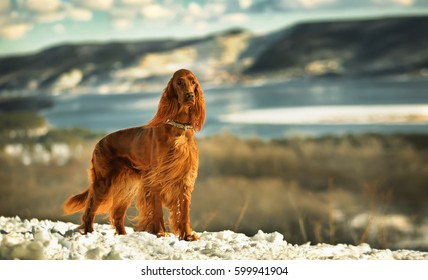 Irish red setter on a background of mountains and rivers on a Sunny day. Exhibition stand dogs. Bright as a flame