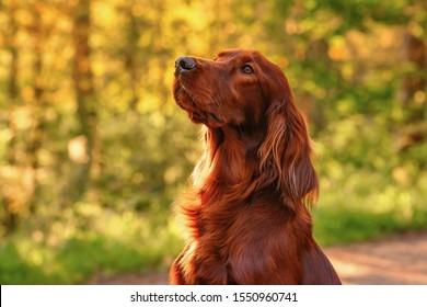 Irish red setter portrait on green grass background, outdoors, horizontal