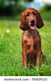 Irish red setter puppy in the grass in summer