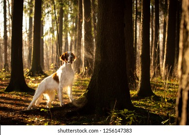 Irish red and white setter in beautiful bright autumn forest