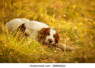 Irish Red And White Setter chewing stick in forest Outdoor in Autumn