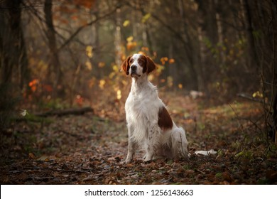 Irish red and white setter dog sitting in dark autumn forest