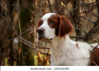Irish red and white setter portrait in forest