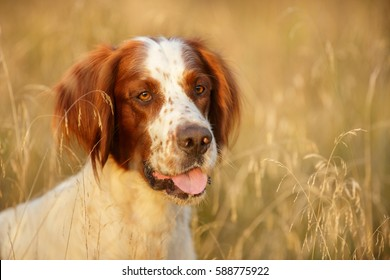 Irish Red And White Setter portrait in field Outdoor in Autumn