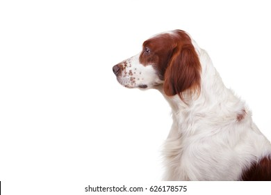 Irish red and white setter portrait on white isolated background profile