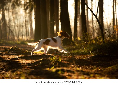 Irish red and white setter running in beautiful bright autumn forest