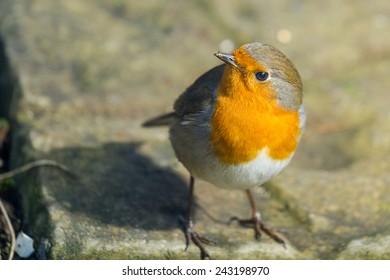 Irish robin