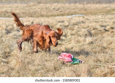 Irish Setter catching a bait on a coursing training