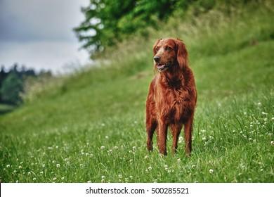 Irish Setter Dog