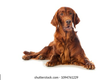 Irish setter dog isolated on white background