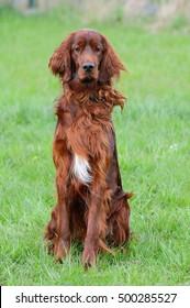 Irish Setter Dog Puppy,