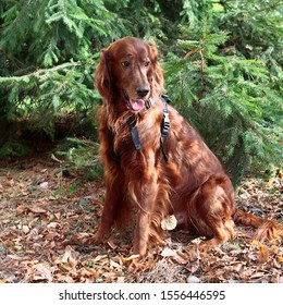 Irish setter during a walk on an autumn morning