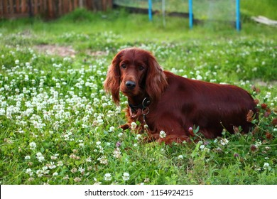 Irish setter in flawers
