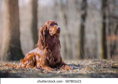 Irish setter hound dog in the winter forrest