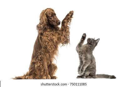 Irish setter and Maine-Coon kitten high-fiving