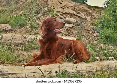 Irish setter poses for a photo