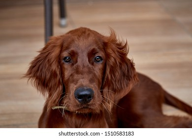 Irish setter puppy lies on the lawn grass. Irish setter red color. The dog guards the territory near the house.
