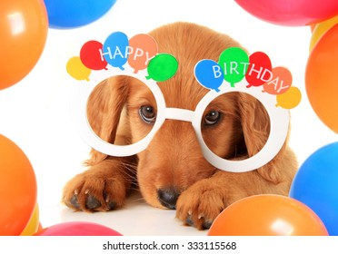 A Irish setter puppy wearing Happy Birthday eye glasses.