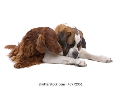 Irish Setter and Saint Bernard laying down together. Isolated against a white background