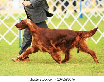 Irish Setter showing at AKC dog show