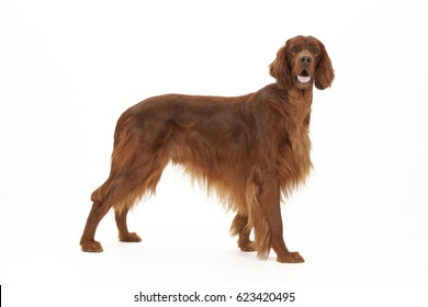Irish Setter side view studio shot