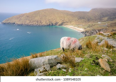 Irish sheep with the beach in background on county side in Ireland