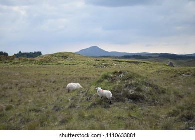Irish sheep with Merino wool in the road side of the Scenic wild Atlantic way near Galway and Connemara National Park, Ireland