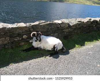 An Irish sheep resting in the shade along the Gap of famine walk.