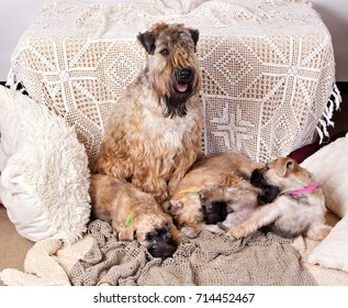 Irish Soft Coated Wheaten Terrier bitch and her three little puppies