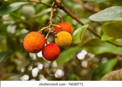 Irish Strawberry Tree