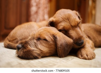 Irish terrier breed puppies