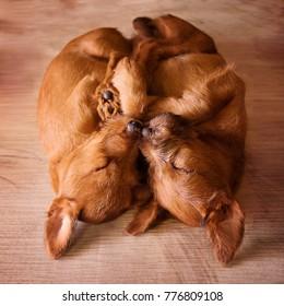 Irish terrier breed puppies