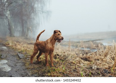 Irish terrier dog near a river. Spring time