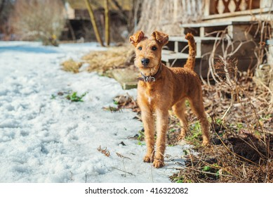 Irish terrier dog puppy playing outdoors. Spring time