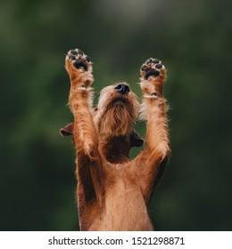 Irish terrier dog raising his paws up on green background