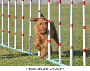 Irish Terrier Doing Weave Poles at Dog Agility Trial