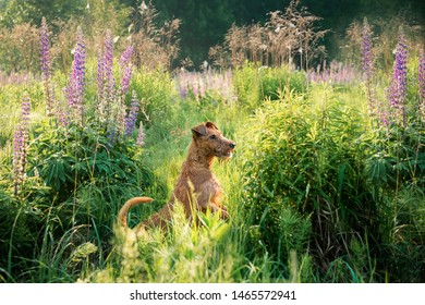Irish terrier playing outdoor, summer time
