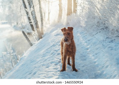 Irish terrier playing outdoor winter time