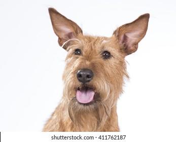 Irish terrier portrait. Image taken in a studio.