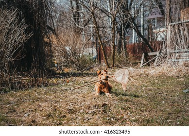 Irish terrier puppy playing outdoors