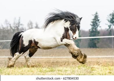 irish tinker horse stallion galloping