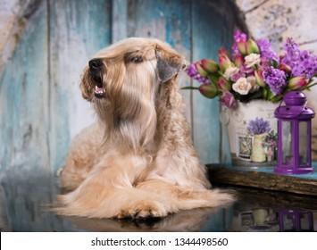 Irish Wheaten Terrier