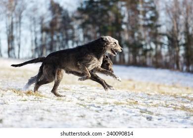 Irish Wolfhound dogs running at winter forest. Irish wolfhound dogs run in field. Two irish wolfhound dogs in winter field