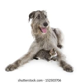 Irish Wolfhound isolated on a white background