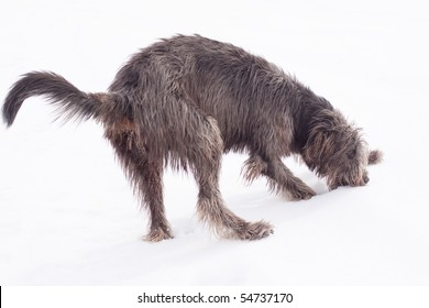 An irish wolfhound on the snow field